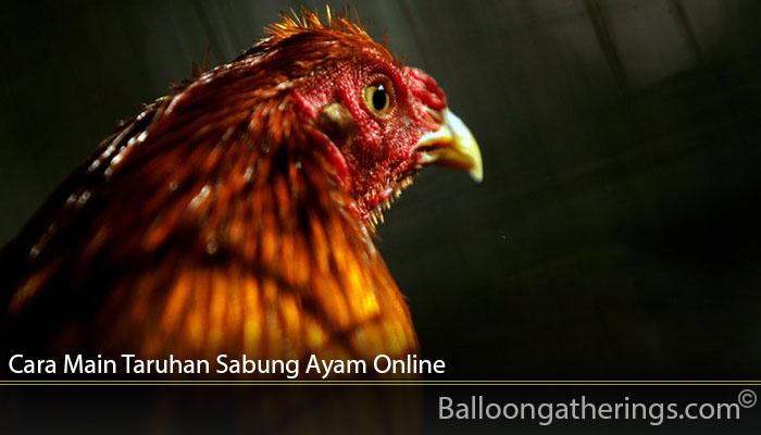 Cara Main Taruhan Sabung Ayam Online