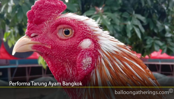 Performa Tarung Ayam Bangkok