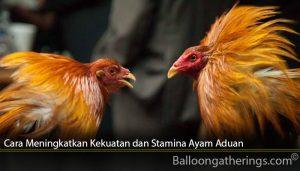Cara Meningkatkan Kekuatan dan Stamina Ayam Aduan