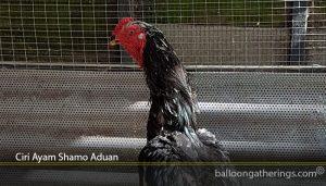Ciri Ayam Shamo Aduan