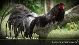 Melatih Kekuatan Ayam Aduan