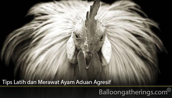 Tips Latih dan Merawat Ayam Aduan Agresif