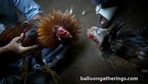 Apa-Saja-Cara-Menang-Bermain-Sabung-Ayam-Online